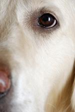 Dog eye