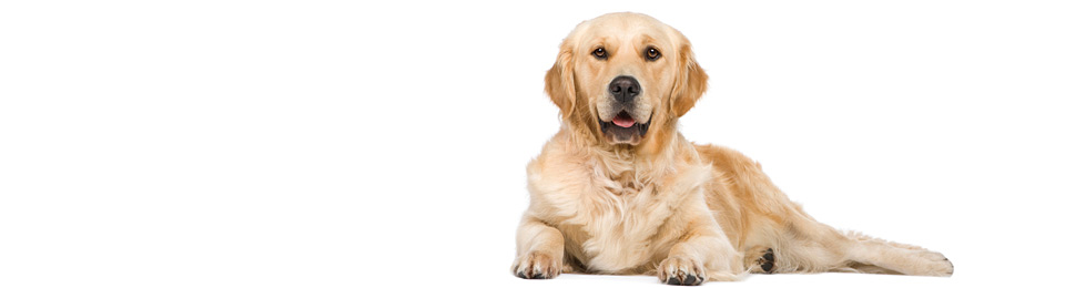 General Image - Dog Retriever3