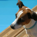 General Image - Dog by Pool