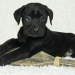 General Image - Puppy Black Lab